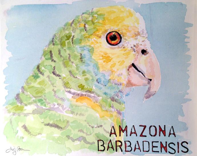 Amazona_Barbadensis_MJBronstein_Watercolor