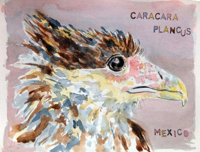 caracara_Plancus_mexico_m.j.Bronstein-watercolor