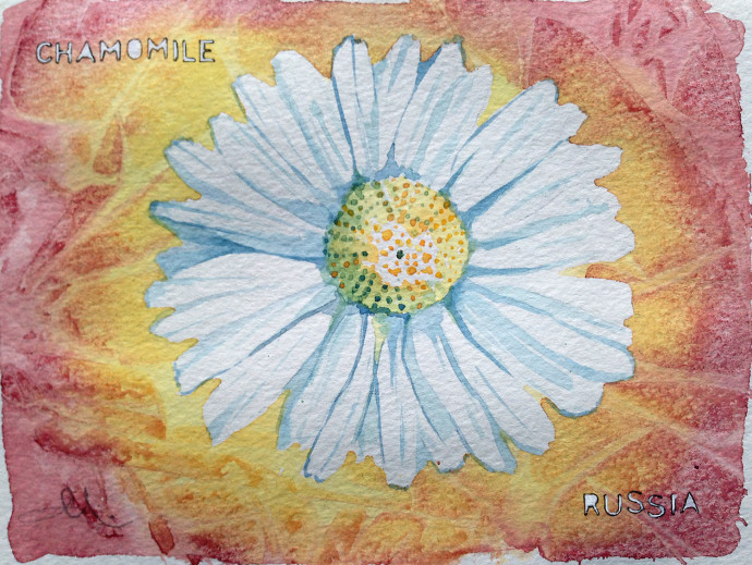 chamomile-watercolor-m.j.bronstein