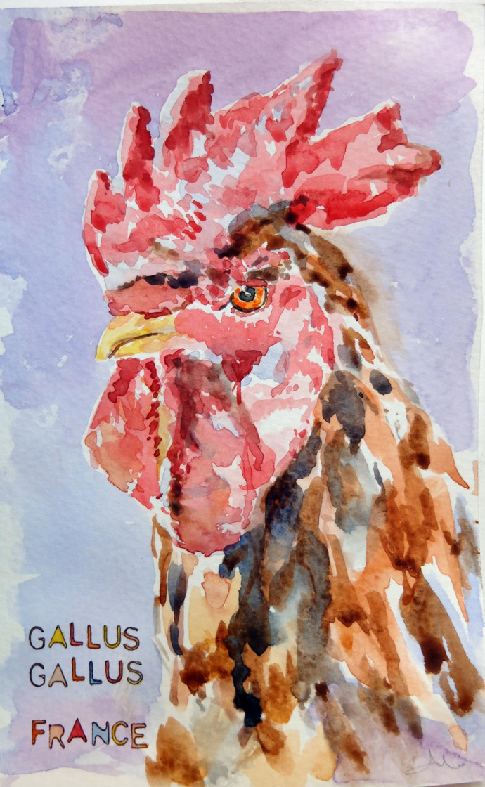 gallus-gallus-m.j.bronstein-watercolor